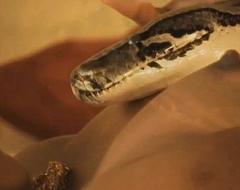 Sacred Snake Benedict Arnold Rising MILF
